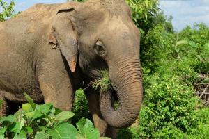 elefant i udawalawe nasjonalpark