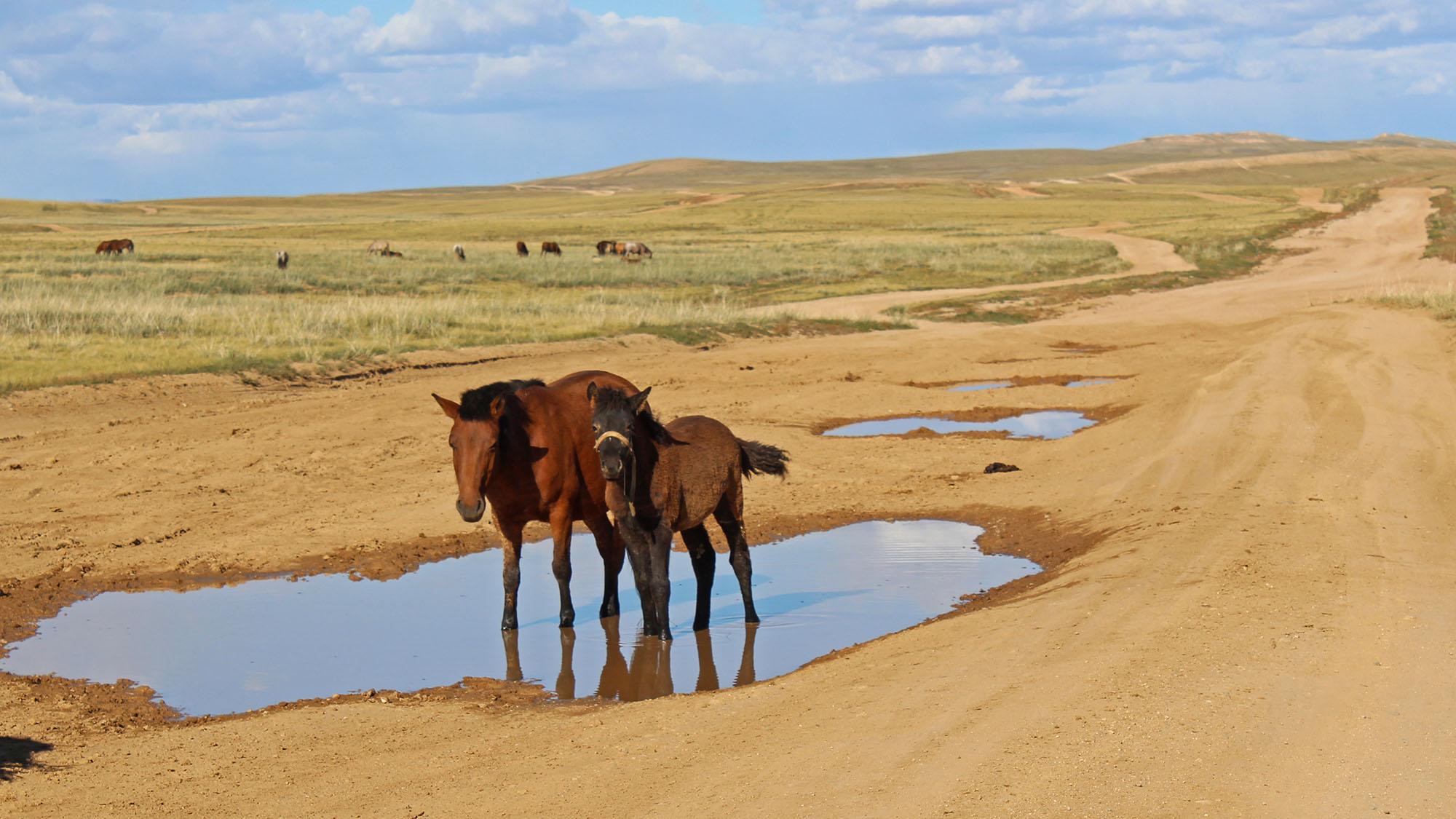 Vakre hester og steppelandskap - og grusveier så langt øyet rekker. Det er Mongolia! Foto: Gro H Andersen